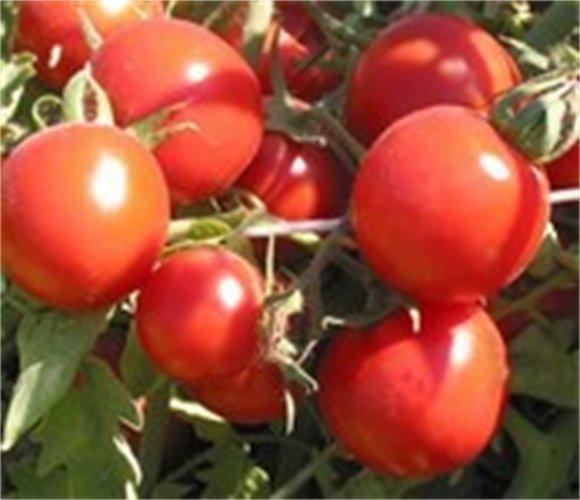 Σπόροι Τομάτας